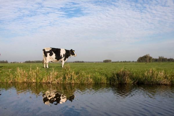 Koe, Groene Hart
