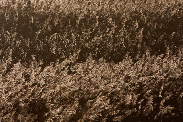 Riet in natuurgebied Scherenwelle