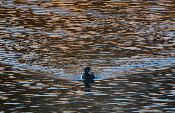 Foto van een Kuifeend, Amsterdamse Waterleidingduinen