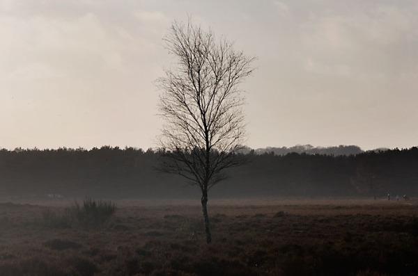 Foto van een berkje op de Westerheide, Goois Natuurreservaat, Hilversum