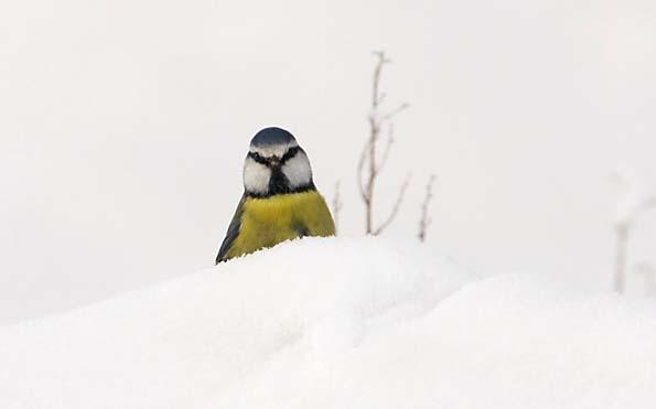 Foto van een Pimpelmees in de sneeuw