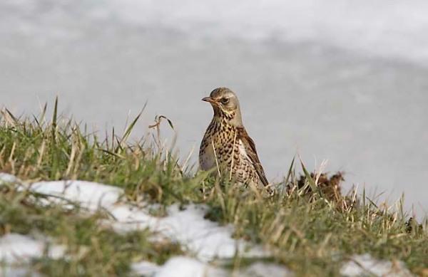 Foto van een Kramsvogel