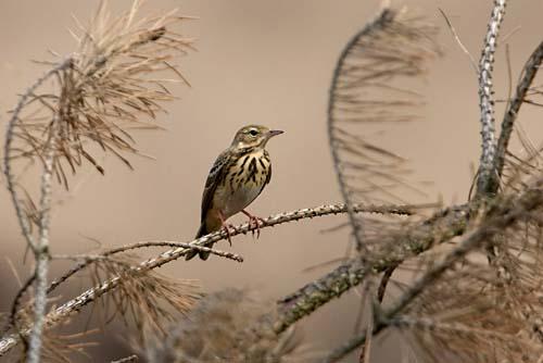 Foto van een Boompieper, Nationaal Park de Maasduinen