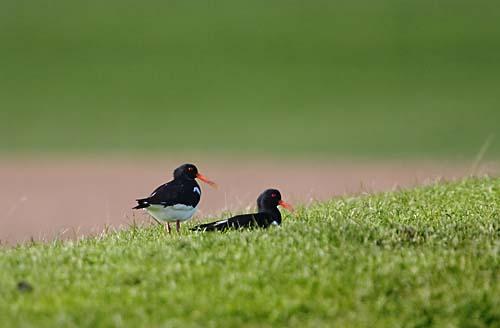 Foto van twee Scholeksters op de Waddendijk, Texel