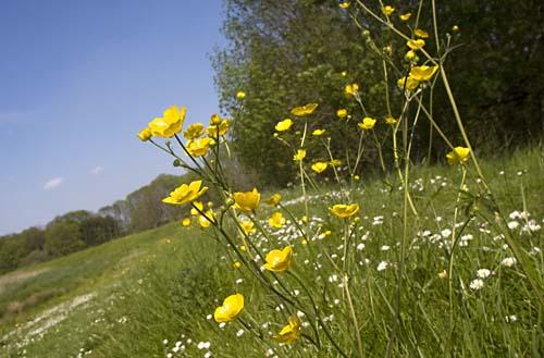Foto van bloeiende boterbloemen, Nationaal Park de Biesbosch