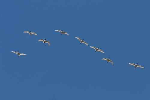 Foto van Lepelaars, Nationaal Park de Biesbosch