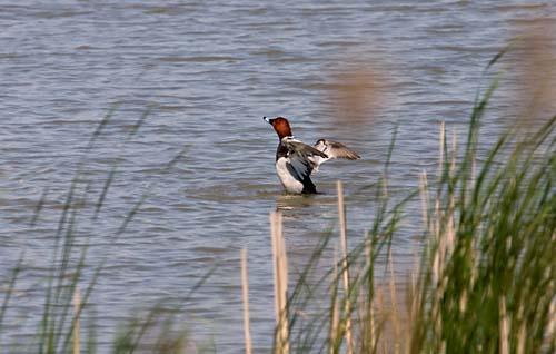 Foto van een Tafeleend, Nationaal Park de Biesbosch