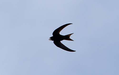 Foto van een Gierzwaluw boven Utrecht