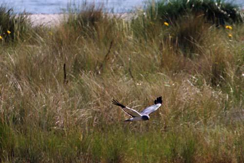 Foto van een Blauwe Kiekendief