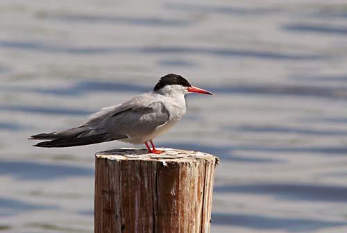 Foto van een Visdief, Vogelplas Starrevaart
