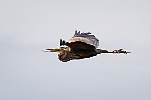 Foto van een Purperreiger, Nationaal Park Weerribben-Wieden