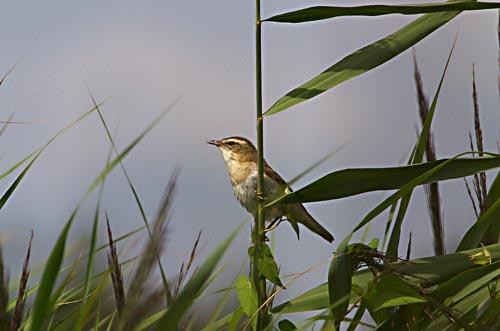 Foto van een Rietzanger, Nationaal Park Weerribben-Wieden