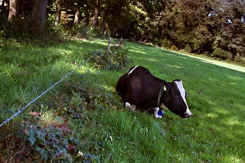 Foto van een koe op Landgoed Zwaluwenburg, Geldersch Landschap