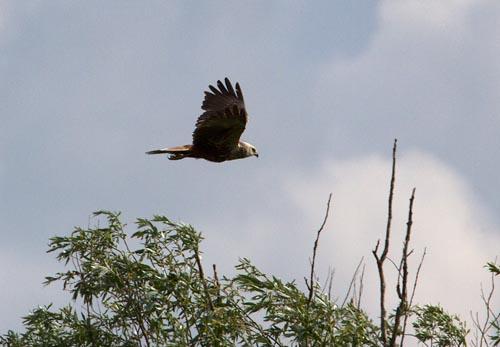 Foto van een Bruine Kiekendief, Zouweboezem