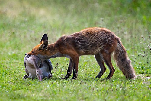 Foto van een vos met een gevangen grauwe gans, Oostvaardersplassen