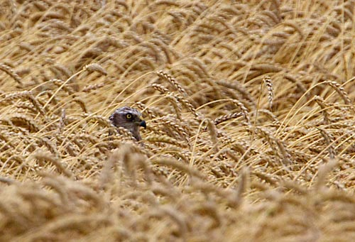 Foto van een Bruine Kiekendief in een tarweveld, Zeeuws-Vlaanderen
