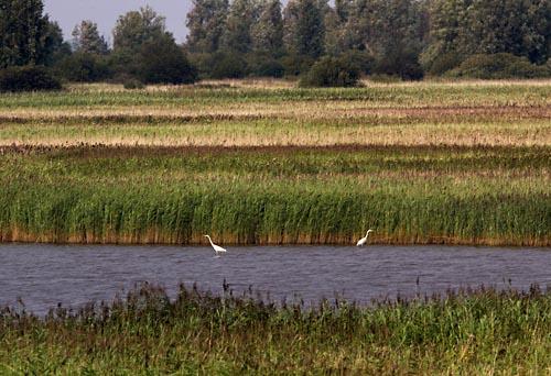 Foto van Grote Zilverreigers, Kollumerwaard, Lauwersmeer