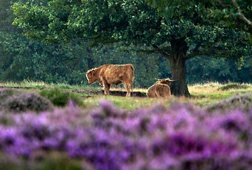 Foto van Schotse Hooglanders, Reestdal