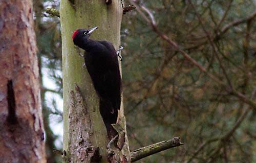 Foto van een Zwarte Specht, Veluwe