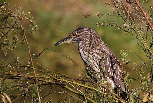 Foto van een Kwak, Coto Doñana
