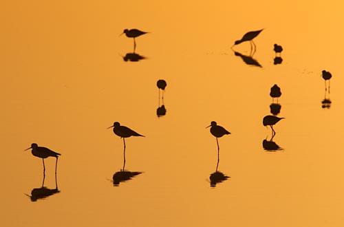 Foto van Steltkluten bij zonsondergang in een zoutpan. Marismas del Odiel bij Huelva