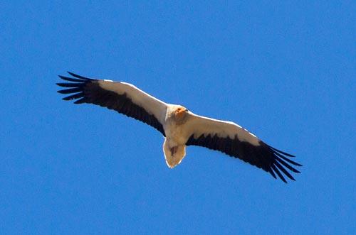 Foto van een Aasgier, Extremadura, Spanje