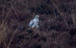 Foto van een Blauwe Kiekendief, Bargerveen