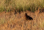 Foto van een Bruine Kiekendief, Andalusië, Spanje