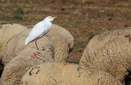 Foto van een Koereiger, Extremadura, Spanje
