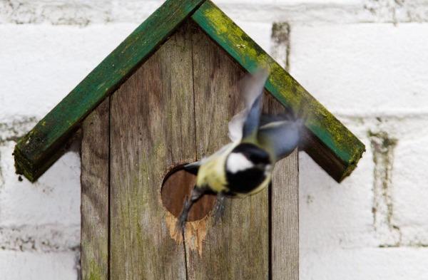 Foto van een koolmees bij een nestkast