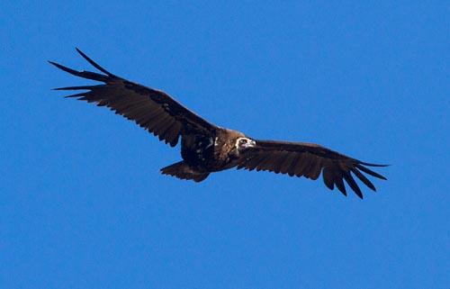 Foto van een Monniksgier, Extremadura, Spanje