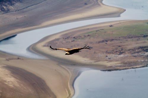 Foto van een Vale Gier, Extremadura, Spanje