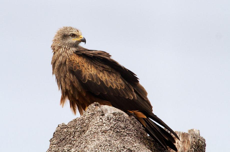 Foto van een Zwarte Wouw, Extremadura, Spanje