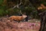 Foto van een Edelhert, Nationaal Park de Hoge Veluwe
