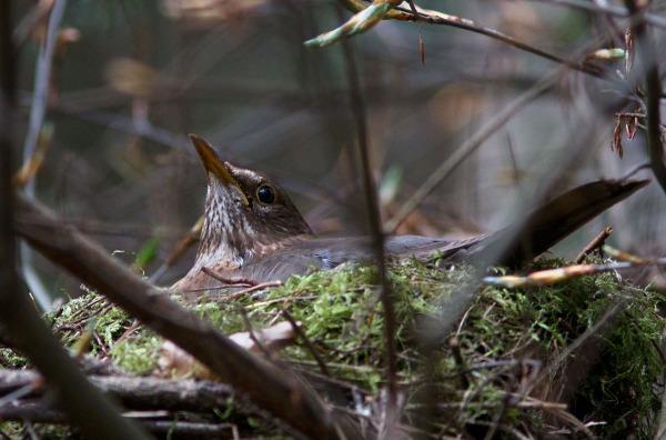 Foto van een Merel op een nest in Nationaal Park Utrechtse Heuvelrug