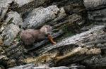 Foto van een Otter, Unst, Shetland