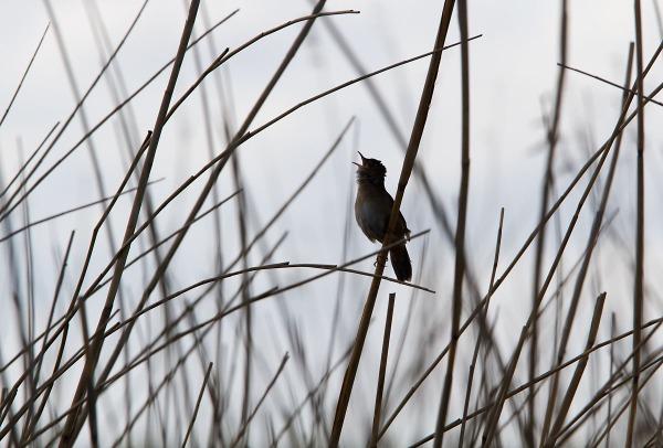 Foto van een Snor, Groene Jonker