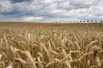 Foto van een tarwe akker, Mecklenburg-Vorpommeren, Duitsland