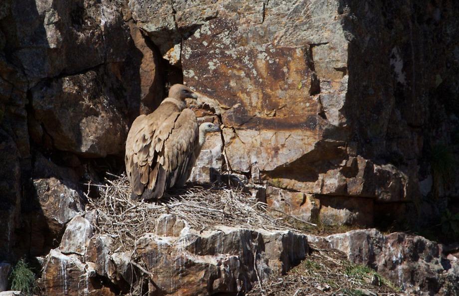 Foto van een Vale Gier met een kuiken, Monfragüe NP, Extremadura, Spanje