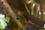 Foto van een Kleine Watersalamander, Utrecht
