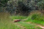 Foto van Wilde Zwijnen, Nationaal Park De Groote Peel