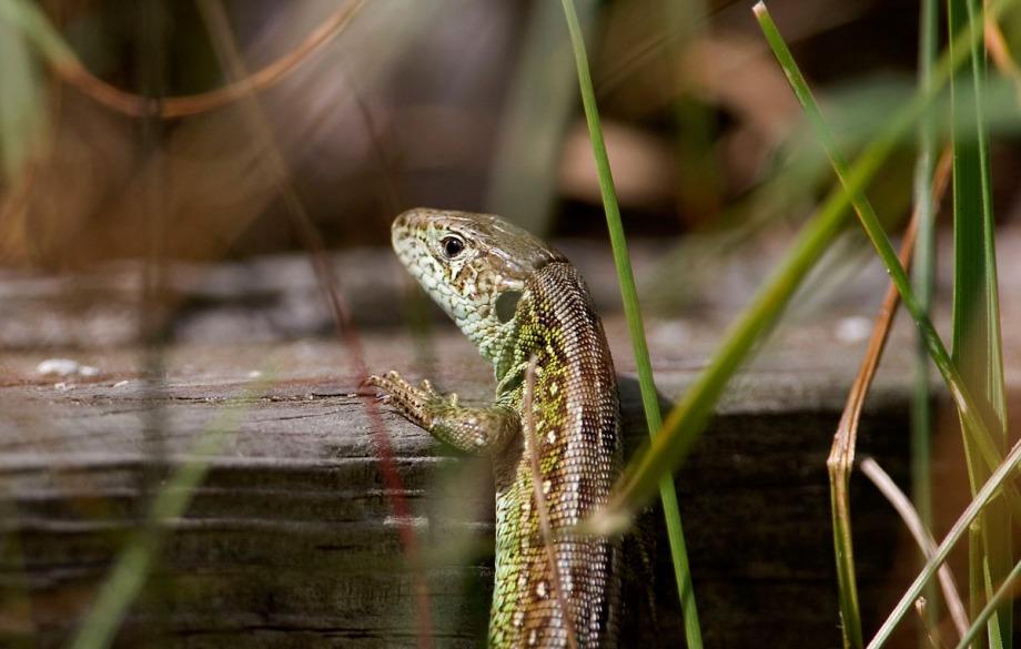Foto van eenZandhagedis, Nationaal Park Zuid-Kennemerland