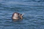 Foto van een Grijze Zeehond, Brouwersdam