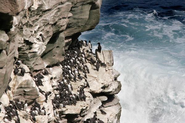 Foto van Zeekoeten, Noss, Shetland