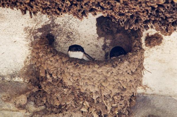 Foto van Huiszwaluwen op nest, Olst