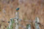 Foto van een IJsvogel, Hardense Beek, Gelderland