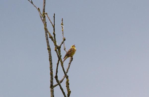 Foto van een Geelgors, Bargerveen, Drenthe