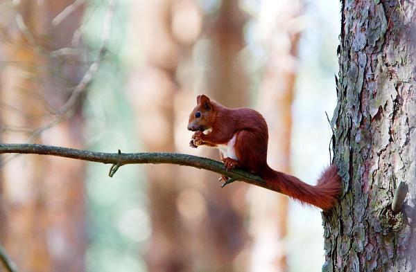 Foto van een Rode Eekhoorn, Duitsland