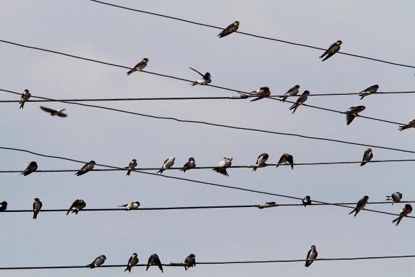 Foto van Huiszwaluwen, Polen