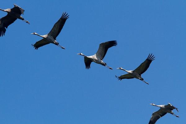 Foto van Kraanvogels, Duitsland